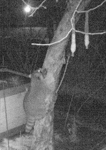Waschbär im Garten